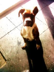 cachorro-ya-criado-buen-companero-por-falta-de-lugar_MLU-F-3307246128_102012